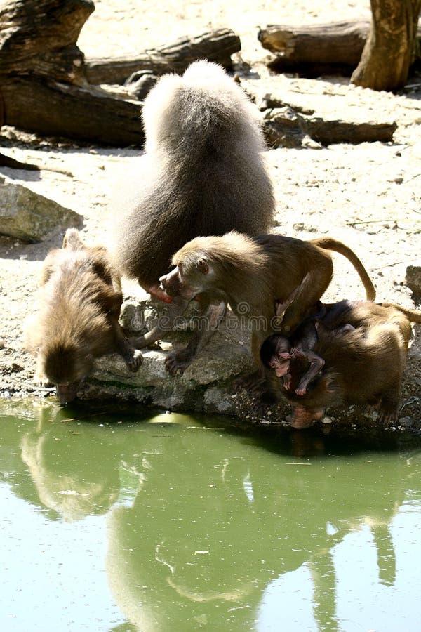Uma família e um bebê do babuíno imagem de stock royalty free