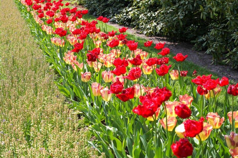 Uma fileira bonita de tulipas vermelhas e amarelas brilhantes nos jardins do keukenhof em holland na primavera imagem de stock