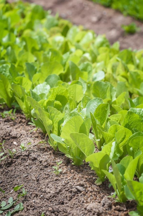 Uma fileira da alface, orientada na diagonal, no jardim foto de stock
