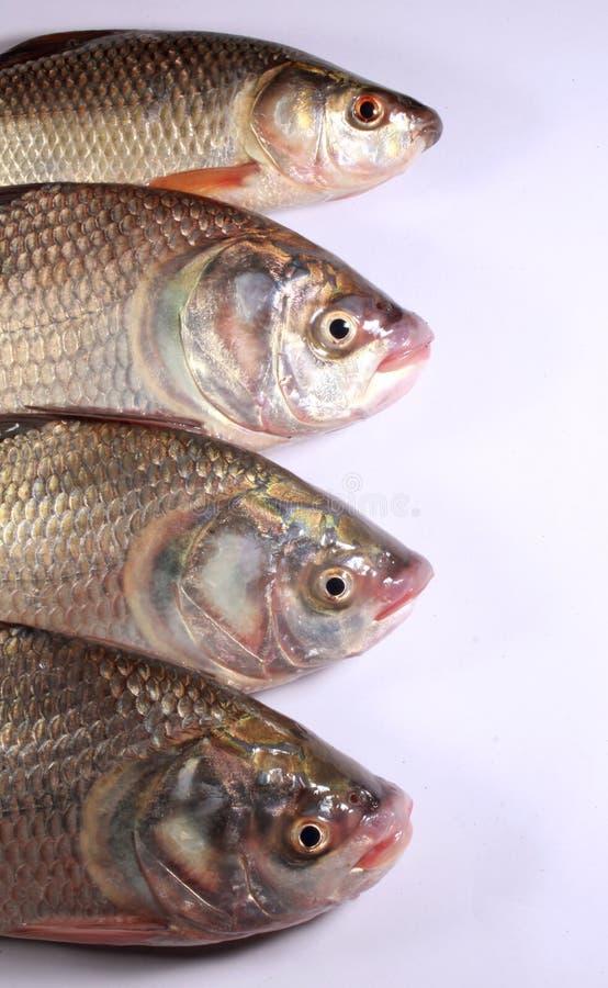 Uma fileira da carpa pesca em um fundo branco foto de stock