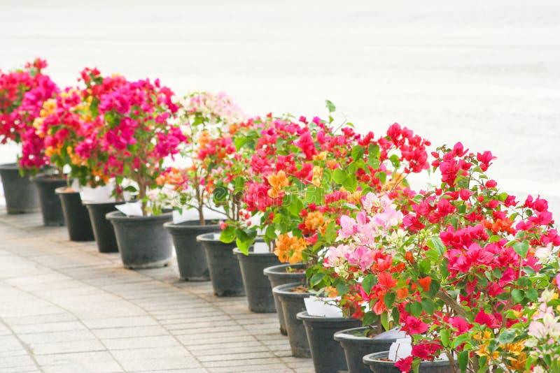 Uma fileira das flores coloridas da buganvília que florescem no suporte preto do potenciômetro no passeio perto do fundo da estra fotografia de stock