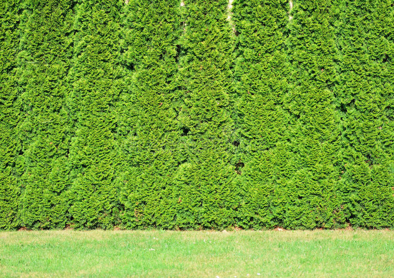 Uma fileira de alto do thuja verde. imagens de stock