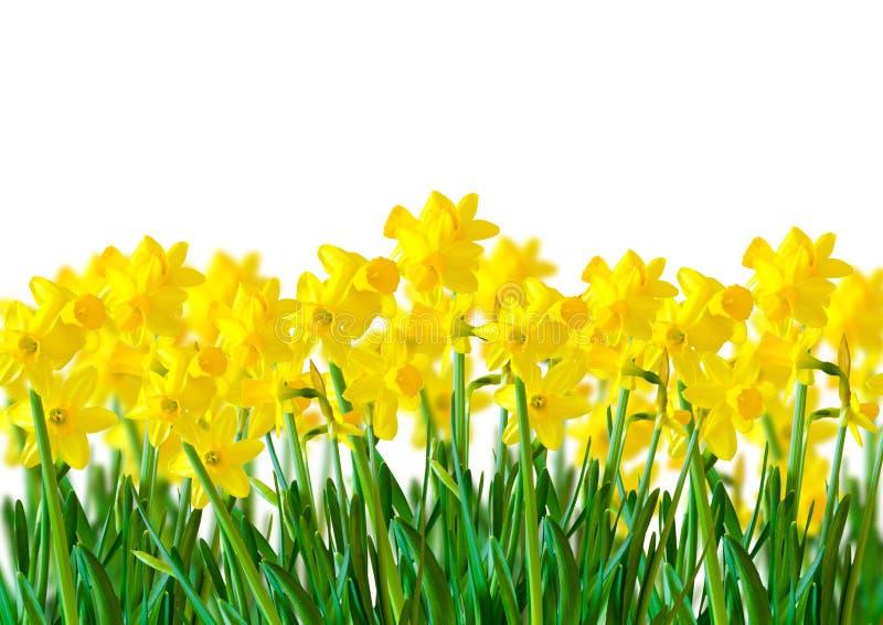 Uma fileira de Daffodils amarelos fotografia de stock royalty free