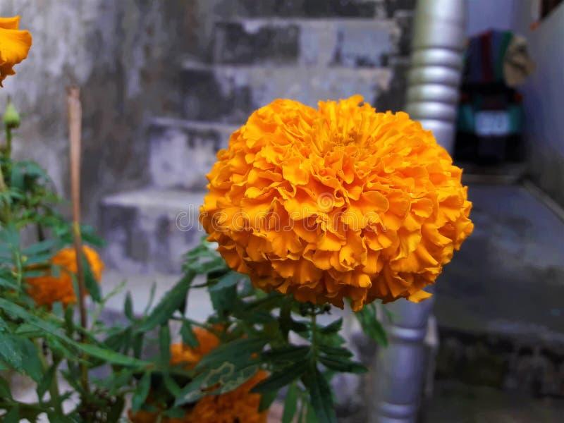 Uma flor alaranjada bonita do cravo-de-defunto imagem de stock royalty free