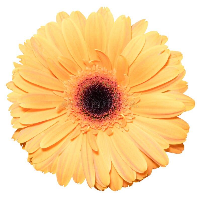 Uma flor alaranjada da margarida de transvaal isolada no branco foto de stock royalty free