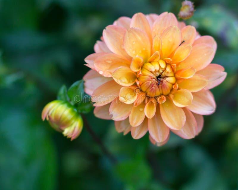Uma flor alaranjada de Dahliad com uma formiga imagens de stock