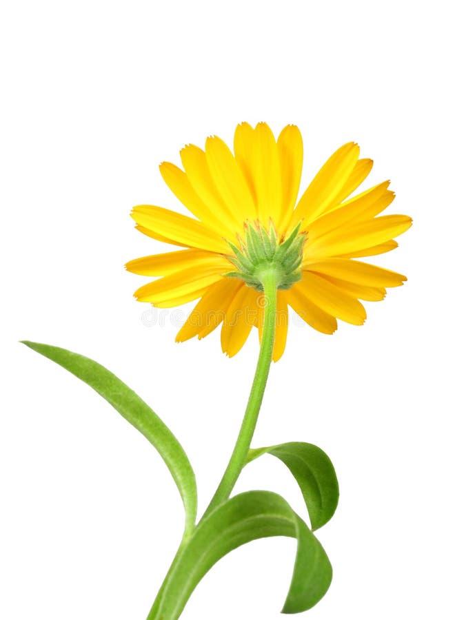 Uma flor alaranjada do calendula fotos de stock royalty free