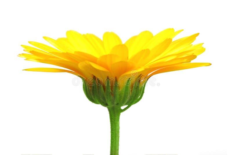 Uma flor alaranjada do calendula foto de stock