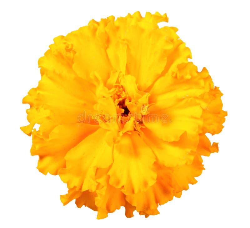 Uma flor alaranjada do cravo-de-defunto fotos de stock royalty free