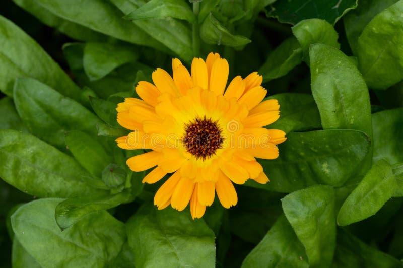 Uma flor alaranjada do cravo-de-defunto de potenciômetro vista de cima de foto de stock