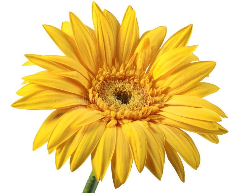 Uma flor amarela foto de stock royalty free