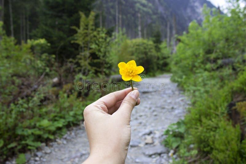 Uma flor amarela brilhante nas mãos no fundo de uma estrada nas montanhas imagens de stock