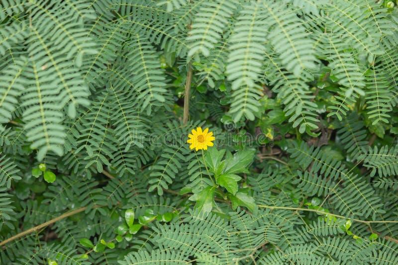 Uma flor amarela da margarida de Singapura com fundo verde da folha imagens de stock
