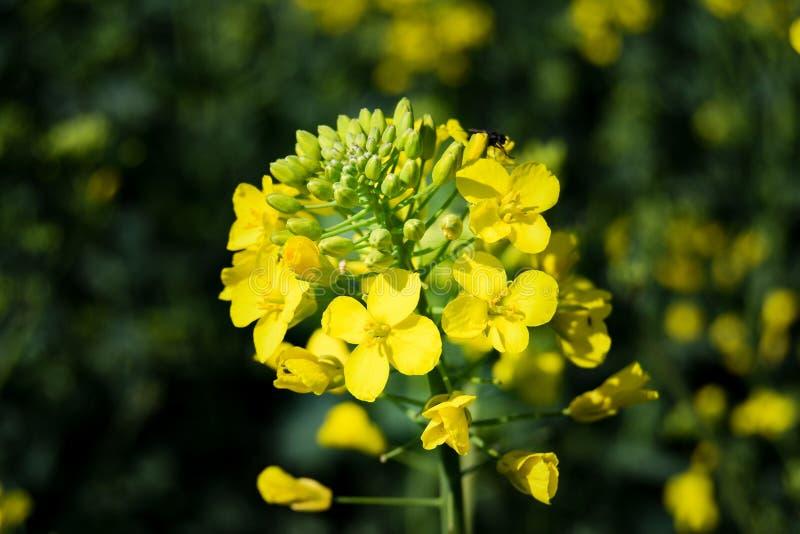 Uma flor amarela da violação fotografia de stock royalty free