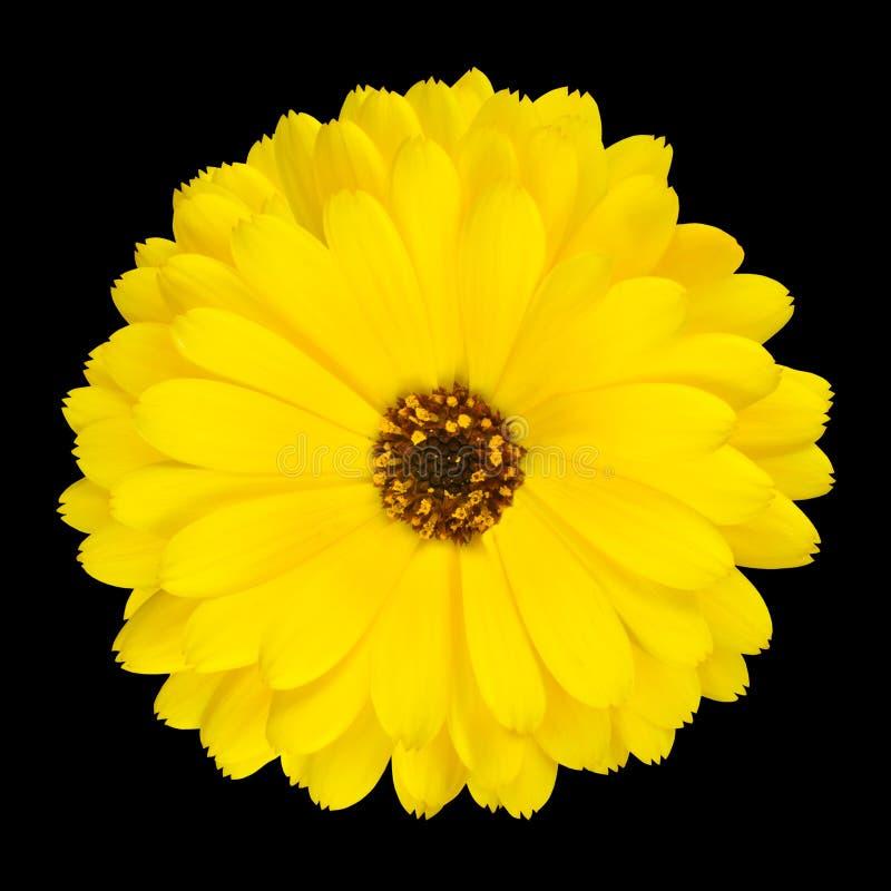 Uma flor amarela de florescência do Marigold de potenciômetro isolada foto de stock