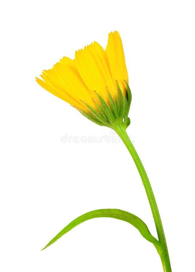 Uma flor amarela do calendula foto de stock