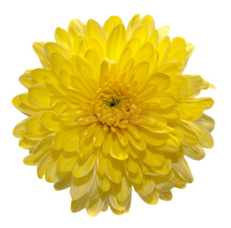 Uma flor amarela do crisântemo fotografia de stock royalty free