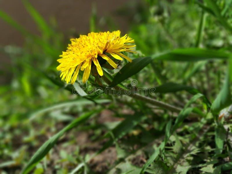 Uma flor amarela do dente-de-leão na grama verde imagem de stock