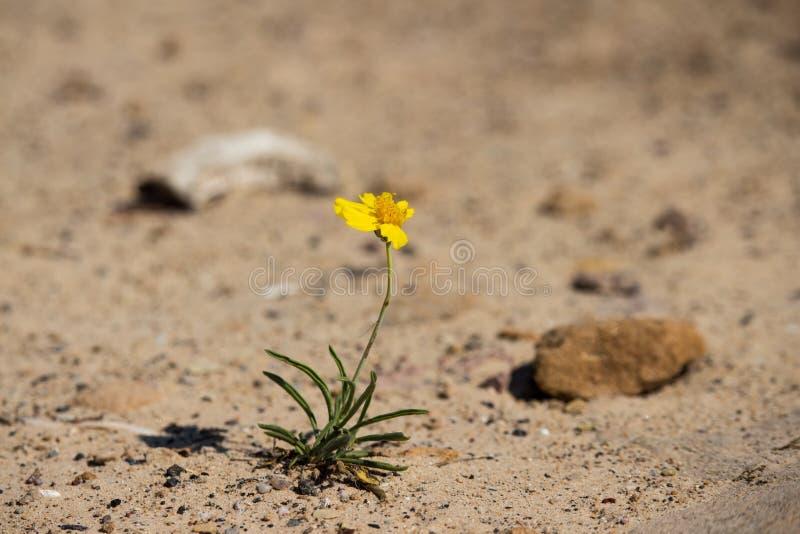 Uma flor amarela minúscula esforça-se para sobreviver no deserto imagens de stock