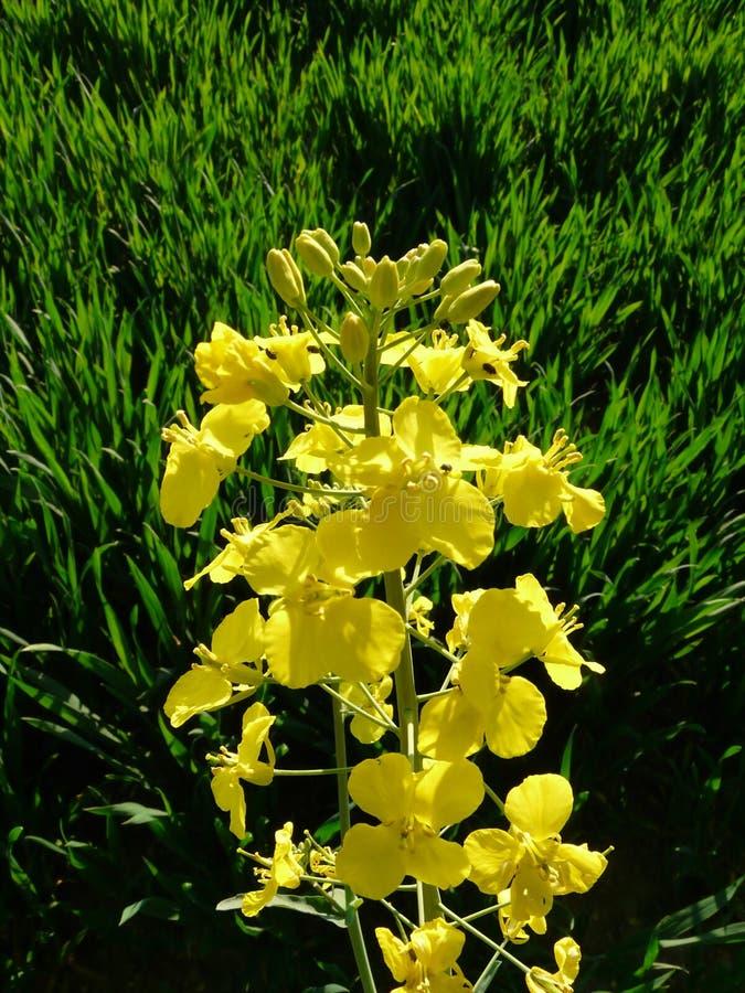 Uma flor amarela só foto de stock