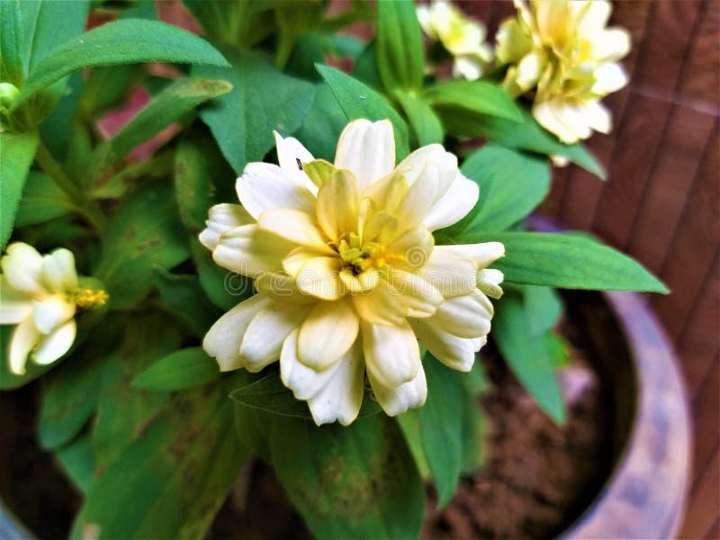 Uma flor amarelada bonita de Lite & umas folhas verdes imagens de stock royalty free