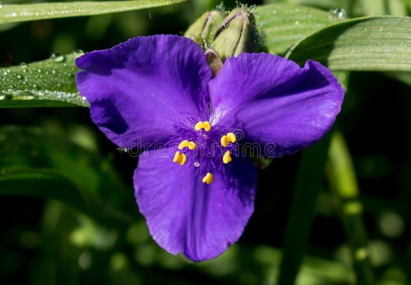 Uma flor azul bonita e rara no início da mola fotos de stock