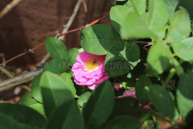 Uma flor bonita da rosa do rosa escondida em parte atrás das folhas foto de stock royalty free