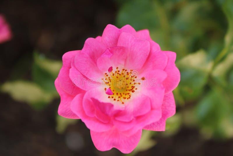 Uma flor bonita do rosa exterior fotografia de stock royalty free