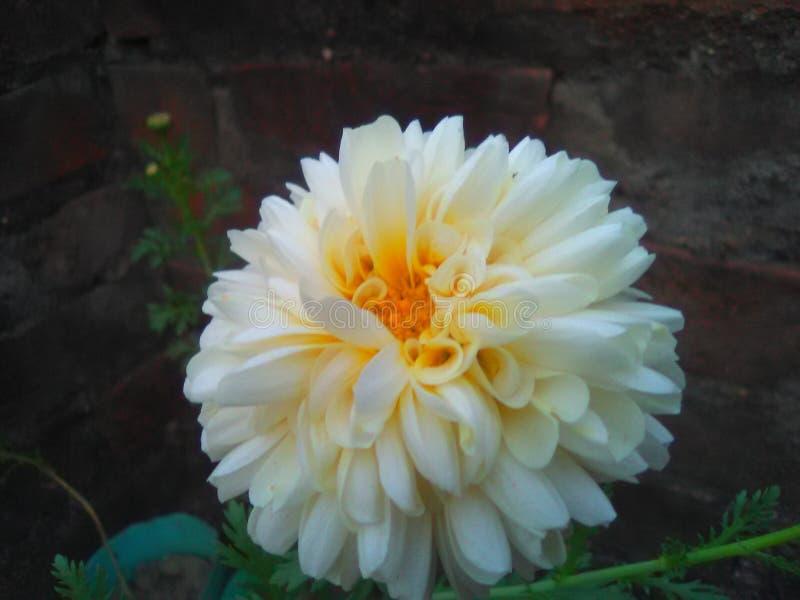 Uma flor branca bonita Chandramallika foto de stock royalty free