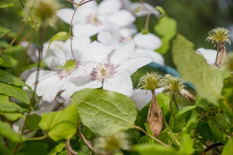 Uma flor branca delicada da clematite floresceu em Bush com uma listra lil?s no centro da p?tala no borrada fotos de stock royalty free