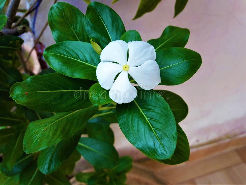 Uma flor branca fresca bonita com as folhas de incandescência verdes foto de stock royalty free