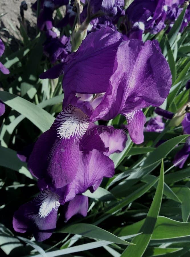 Uma flor chamou Petushki fotos de stock