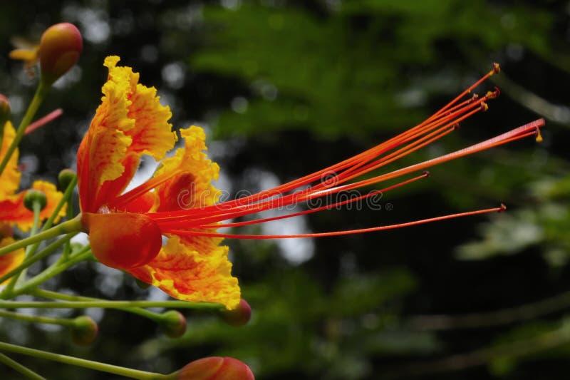 Uma flor colorida do hibiscus alcança para fora dentro ao mundo imagens de stock royalty free