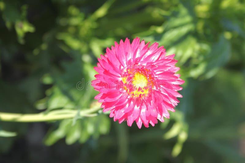 Uma flor cor-de-rosa bonita em um jardim da dacha fotos de stock royalty free