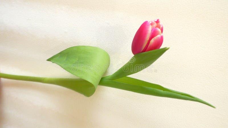 Uma flor cor-de-rosa da tulipa isolada no fundo branco imagem de stock
