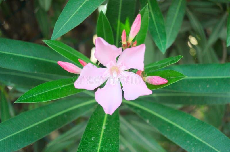 Uma flor cor-de-rosa do oleandro é ficada situada no centro do quadro fotografia de stock royalty free