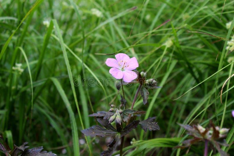 Uma flor cor-de-rosa na grama imagem de stock royalty free