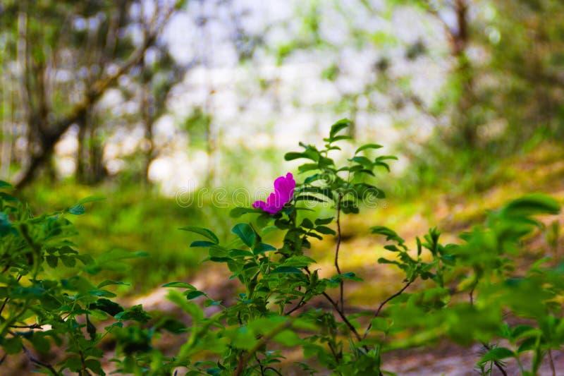Uma flor cor-de-rosa no fundo borrado verde imagens de stock