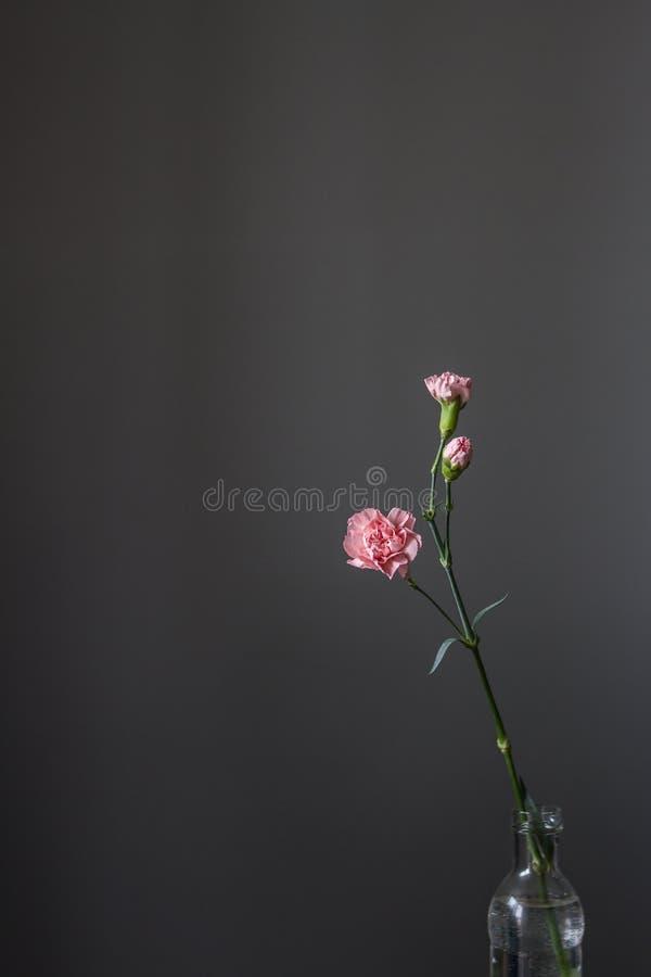 Uma flor cor-de-rosa só do cravo está em uma garrafa da água em um fundo cinzento fotografia de stock royalty free