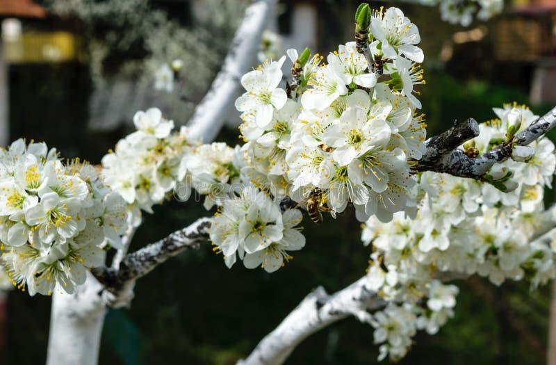 Uma flor da árvore na mola com as abelhas nas flores imagem de stock