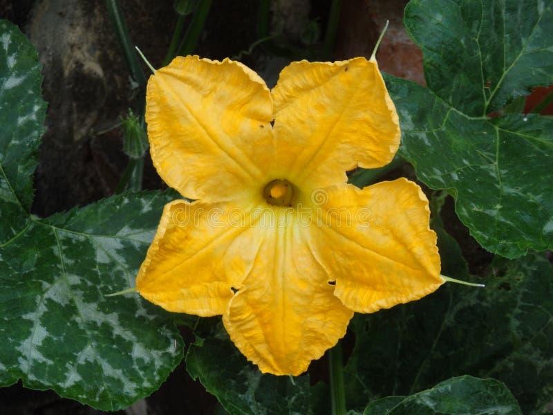 Uma flor da abóbora em Bequia imagem de stock