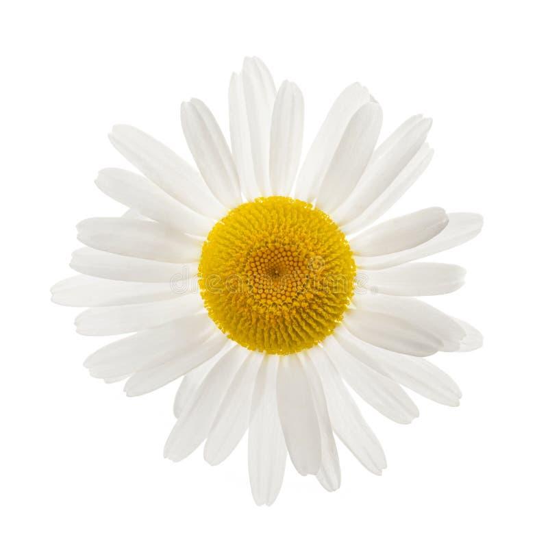 Uma flor da margarida foto de stock royalty free