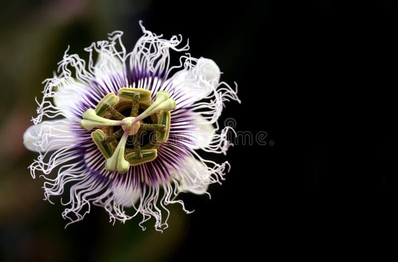 Uma flor da paixão fotografia de stock