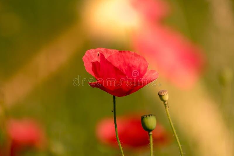 Uma flor da papoila na luz do sol Cor vermelha bonita com uma terra traseira verde foto de stock