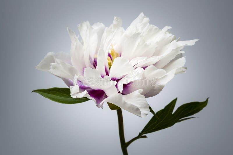 Uma flor da peônia fotos de stock royalty free