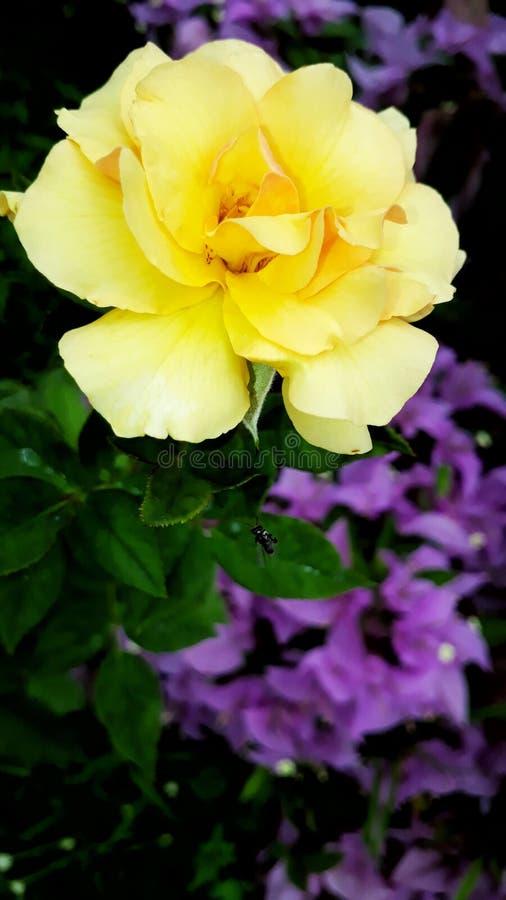 Uma flor da rosa imagens de stock royalty free