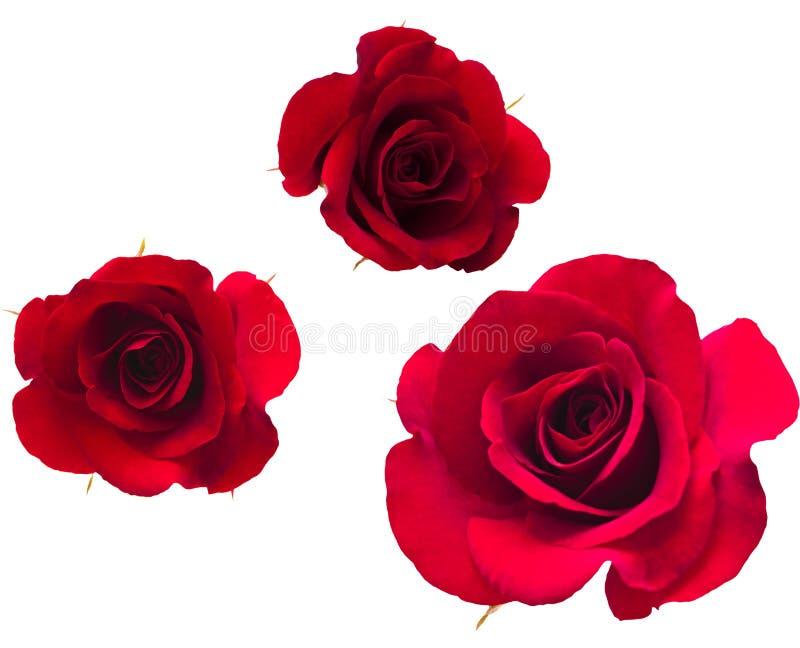 Uma flor das rosas. foto de stock