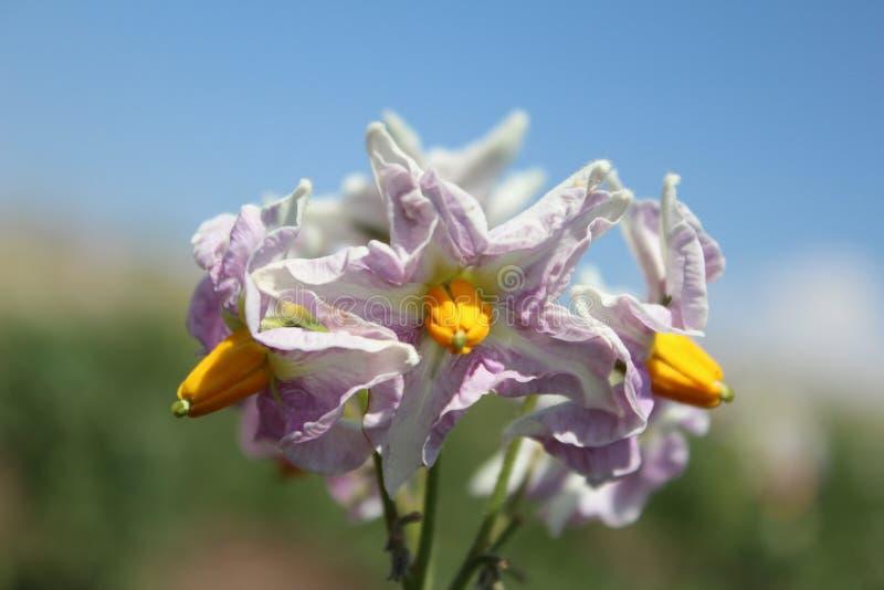 Uma flor de uma batata imagem de stock