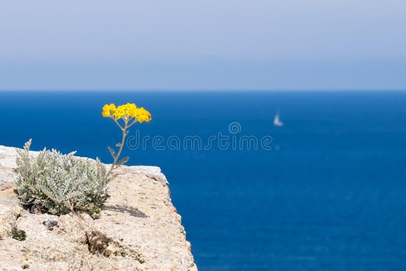 Uma flor de Immortelle que negligencia o mar em Córsega fotos de stock