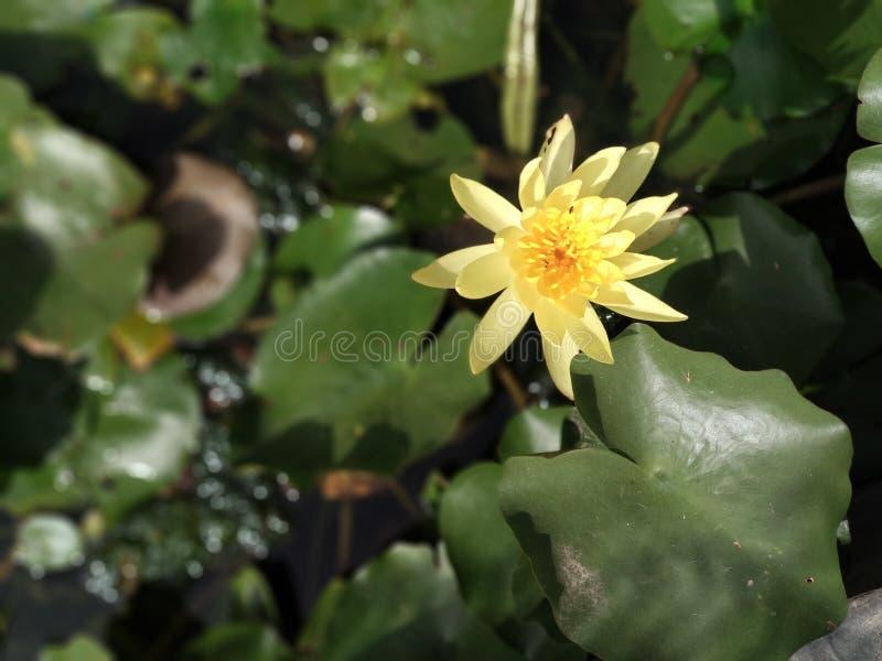 Uma flor de lótus amarela fresca foto de stock
